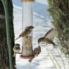 Sparrows Feeding in Morning