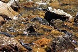 fish spawning